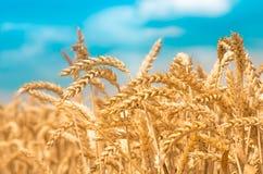 Goldohren des Weizens gegen den blauen Himmel Lizenzfreie Stockfotografie