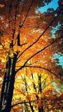 Goldpolnischer Herbst im Park Stockbilder