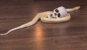 Goldpythonschlange mit dem menschlichen Schädel Stockfotografie