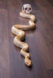 Goldpythonschlange mit dem menschlichen Schädel Lizenzfreie Stockbilder