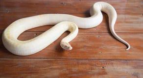 Goldpythonschlangenschlange auf Bretterboden Stockfoto