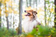 Goldrauer Collie in einem Wald stockbild