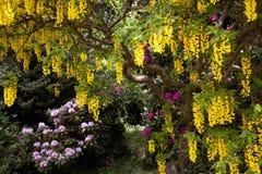 Goldregen-Baum Stockfotos