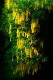 Goldregen-Baum auf dunklem Hintergrund Stockfotos