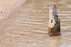 goldren древесина пня песка Стоковые Изображения RF