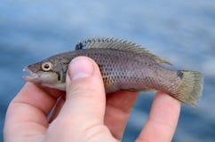 Goldsinny wrasse fishing trophy Stock Photos