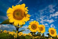 Goldsonnenblumen auf einem Hintergrund des blauen Himmels Stockbild