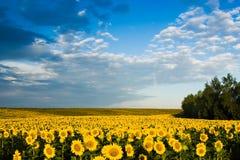 Goldsonnenblumen auf einem Hintergrund des blauen Himmels Lizenzfreie Stockfotos
