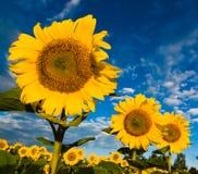 Goldsonnenblumen auf einem Hintergrund des blauen Himmels Stockfotografie