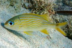 Goldspot Seabream, Gnathodentex aureolineatus, young sea and ocean fish. Close up Stock Photography