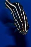 Goldstriped Soapfishhuvud på arkivfoton