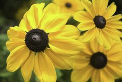 Goldstrum Daisy. Large yellow Goldstrum Daisy ( Black-eyed Susan) flower in late summer Stock Photography
