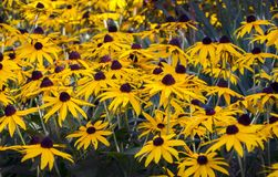 Goldsturm Coneflowers, un wildflower del Michigan Fotografia Stock