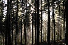 Goldsunbeam Shine durch den grünen Wald. Stockbilder