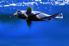 Goldtail angelfish Royalty Free Stock Photos