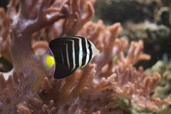 Goldtail angelfish Royalty Free Stock Image