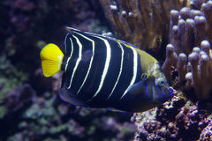 Goldtail angelfish (Pomacanthus chrysurus). Marine fish royalty free stock images
