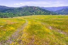 Goldvorkommen Wildflowers, die in Süd-San Francisco Bay blühen; fruchtbare Hügel sichtbar im Hintergrund; San Jose, Kalifornie lizenzfreies stockbild