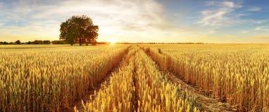 Goldweizen flog Panorama mit Baum bei Sonnenuntergang, ländliche Landschaft lizenzfreies stockbild