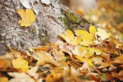 Goldy槭树叶子 免版税库存照片