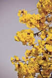 Goled tree flower (yellow pui) Stock Images