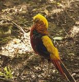 Golen som är pheaaant på den Prinknash fågeln, och hjortar parkerar Royaltyfri Bild