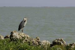 Golf av den Mexico blåtthägret Fotografering för Bildbyråer