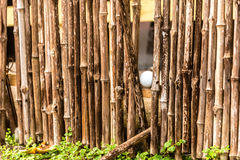 Golf ball in bamboo fence. Golf ball hidden in bamboo fence Royalty Free Stock Image