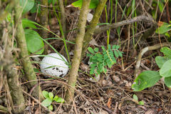 Golf ball in the bush. Close up dirty Golf ball in the bush Royalty Free Stock Images