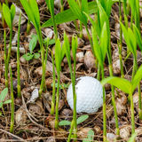 Golf ball. Close up dirty golf ball stuck in palm seedlings Royalty Free Stock Image