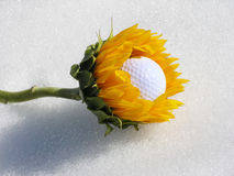 Golf ball eater. Sunflower devouring a golf ball Royalty Free Stock Images