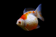 Golf ball goldfish pearlscale Stock Images