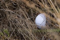 Golf ball in the rough. Partially hidden golf ball in the rough Royalty Free Stock Image