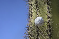 Golf ball stuck in a cactus tree after a wild swing Stock Image
