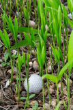 Golf ball stuck in palm seedlings. Close up dirty golf ball stuck in palm seedlings Royalty Free Stock Photography