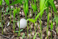 Golf ball stuck in palm seedlings. Close up dirty golf ball stuck in palm seedlings Stock Images