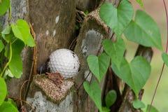 Golf ball stuck on palm tree. Close up dirty golf ball stuck on palm tree Royalty Free Stock Photography