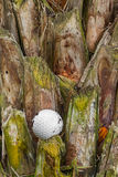 Golf ball stuck on palm tree Royalty Free Stock Images