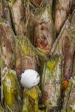 Golf ball stuck on palm tree. Close up dirty golf ball stuck on palm tree Royalty Free Stock Images