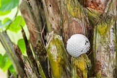 Golf ball stuck on palm tree. Close up dirty golf ball stuck on palm tree Stock Photography