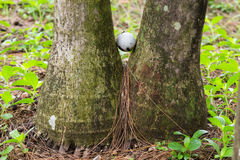 Golf ball stuck between two palm trees. Close up dirty golf ball stuck between two palm trees Royalty Free Stock Photos