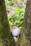Golf ball stuck between two palm trees. Close up dirty golf ball stuck between two palm trees Stock Photography