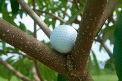 Golf ball in tre. Golf ball caught among the branches of a tree Royalty Free Stock Photos