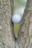 Golf ball in a tree. Golf ball trapped between the branches of a tree. Shallow depth of field Stock Image