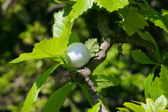 Golf ball tree. Cose-up of golf ball placed on a tree branch Stock Images