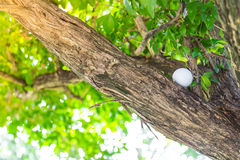 Golf ball in tree Royalty Free Stock Images