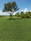 Golf Course. With an oak tree and some pine trees Royalty Free Stock Image