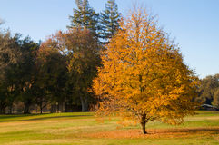 Golf Course gold leaf tree. During fall with fallen leaves on green grass Stock Images