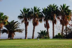 Golf course with palm trees. And green grass Stock Images