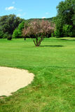 Golf course, sand pit, pink flowering tree Royalty Free Stock Image